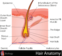 Parts Of The Hair